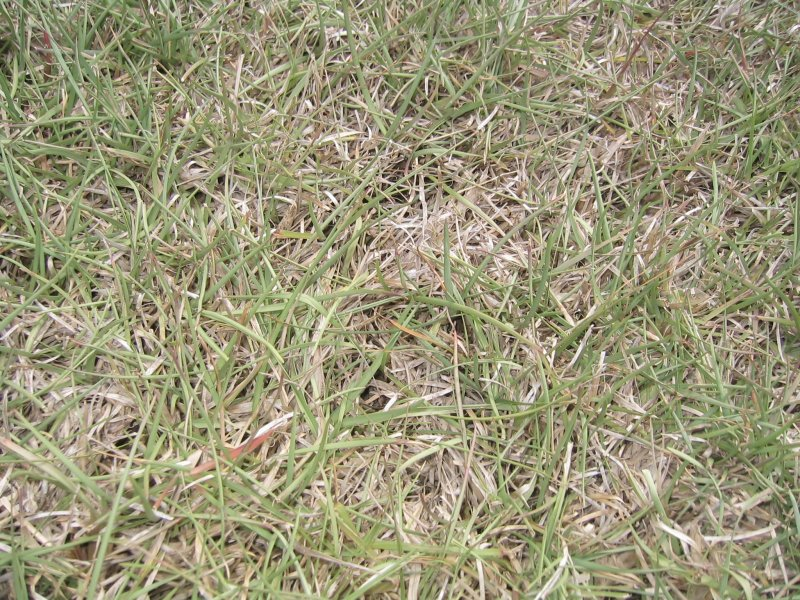 Centipede grass dead patches in my lawn